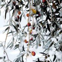 Olivera nevada