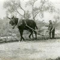 """Foto 97. J. Gordo Berenguer llaurant amb """"Castany"""" a Cobalta. 1966"""
